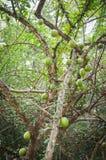 Fruit de Bael Image stock