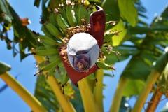 Fruit de banane Image libre de droits