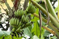 Fruit de banane mûr dans le jardin image libre de droits
