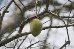 Fruit de baobab accrochant sur l'arbre Image stock