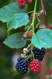 Fruit de Blackberry Photo libre de droits
