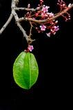 Fruit de caïmite accrochant avec la fleur au-dessus du fond noir Image stock