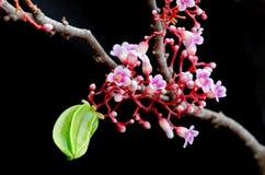 Fruit de caïmite accrochant avec la fleur au-dessus du fond noir Photos libres de droits