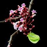 Fruit de caïmite accrochant avec la fleur au-dessus du fond noir Photo libre de droits