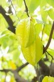 Fruit de caïmite ou fruit d'étoile Images libres de droits