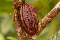 Fruit de cacao Photographie stock libre de droits