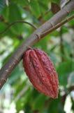 Fruit de cacao dans l'arbre photographie stock libre de droits