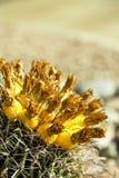 Fruit de cactus de baril dans le désert de Sonoran Photographie stock
