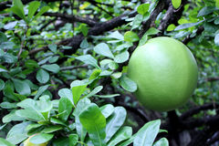 fruit de calebasse sur l'arbre de calebasse Image stock