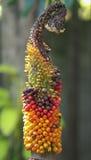 Fruit de campanulatus d'Amorphophallus Photographie stock libre de droits