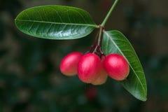 Fruit de carandas de Carissa Images libres de droits