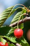 Fruit de cerise Photos stock