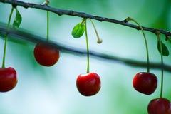 Fruit de cerise photographie stock libre de droits