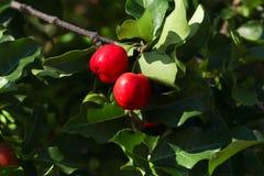 Fruit de cerise des Antilles sur l'arbre photographie stock