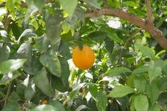 Fruit de chaux Photographie stock libre de droits
