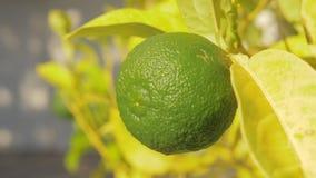 Fruit de chaux dans l'arbre Élevage d'agrume banque de vidéos
