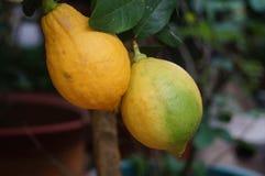 Fruit de citron Photo stock