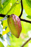 Fruit de Cocos Photos libres de droits