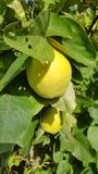 Fruit de coing Image stock