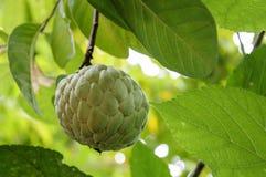 Fruit de corossol en Thaïlande Image libre de droits