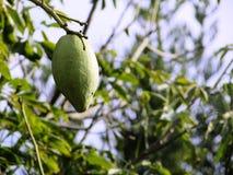 Fruit de coton Photos stock