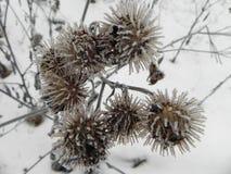 Fruit de cynorrhodon avec des cristaux de gel L'usine a gel? un jour givr? D?tails et plan rapproch? photographie stock