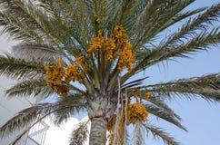 Fruit de dates sur le palmier Photo stock