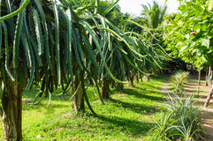 Fruit de dragons, fruit de Pitahaya Image stock