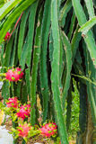 Fruit de dragons, plantation de fruit de Pitahaya Image stock
