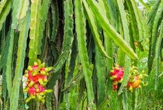 Fruit de dragons, plantation de fruit de Pitahaya Photos stock