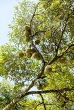 Fruit de durian dans un panier Images stock