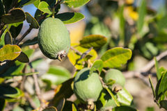 Fruit de Feijoa Photographie stock