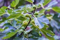 Fruit de figue photos stock