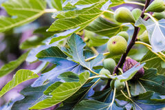 Fruit de figue photo libre de droits
