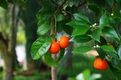 Fruit de fond de jaune de nature de citronnier Image libre de droits