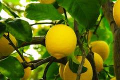 Fruit de fond de jaune de nature de citronnier Photographie stock