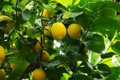 Fruit de fond de jaune de nature de citronnier Photo stock