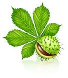 Fruit de graine de châtaigne avec la lame verte d'isolement Photographie stock libre de droits