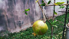 Fruit de grenade Image libre de droits