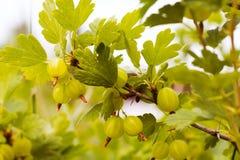 Fruit de groseille à maquereau sur Bush en plein air photographie stock libre de droits