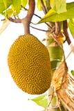 Fruit de Jack Image libre de droits