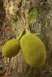 Fruit de Jack (heterophyllus d'Artocarpus) Photographie stock libre de droits