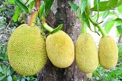 Fruit de Jack sur l'arbre photographie stock libre de droits
