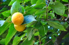 Fruit de kaki de Diospyros Image stock