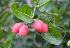 Fruit de Karanda Photos libres de droits