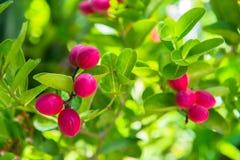 Fruit de Karonda ou baie frais de chaux image libre de droits