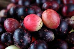 Fruit de Karonda pour l'herbe de santé en Thaïlande Photos libres de droits