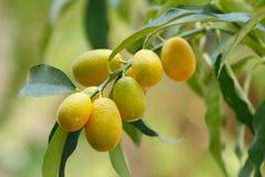 Fruit de kumquat (orange) Images libres de droits