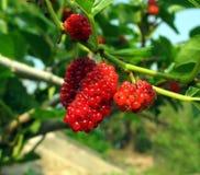 Fruit de la mûre blanche Photographie stock libre de droits