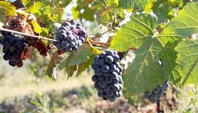 Fruit de la vigne Images stock